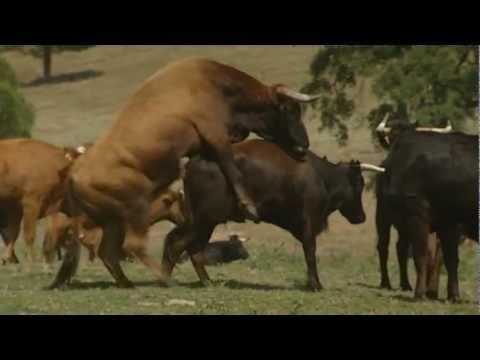 El sexo de los toros The sex of the bulls