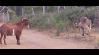 Unik Campur Lucu, Kambing vs Kangguru