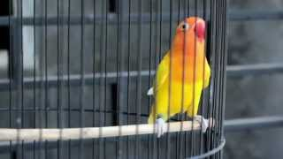Suara Burung : Pertarungan Love Bird Ngekek Panjang, Calon Juara Nasional Download Mp3 Mp4 3GP HD Video