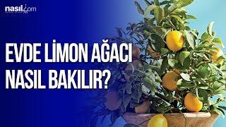 Evde limon ağacı nasıl bakılır?   Nasil.com