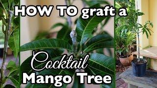HOW TO Graft a Cocktail Mango Tree (One Mango Tree, THREE varieties!)