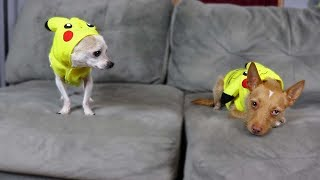 SPOTTED REAL POKEMON IN THE WILD - Trying Pikachu Costumes On My Dogs!