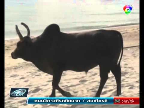 วัวชนบนหาดสทิงพระ