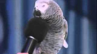 okos papagaj