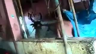 Cow killing - new heights of brutality