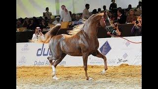 SPARTACUS TO - Qatar - International Arabian Horse Show   2016