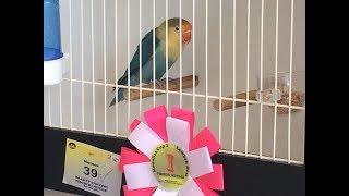 Heboh - Lovebirds Beauty Contes Monalisa Cup II Yogyakarta