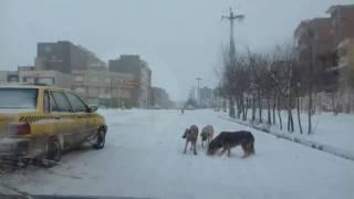 حضور سگهای ولگرد در داخل شهر اردبیل
