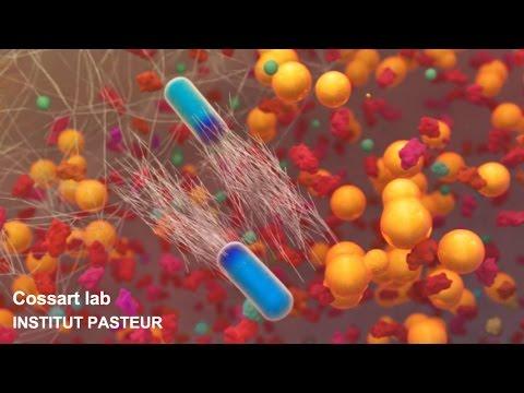 Xxx Mp4 Listeria Monocytogenes A Unique Model In Infection Biology 3gp Sex