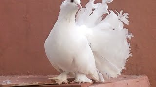 White Dove Dancing pigeon - Birds videos