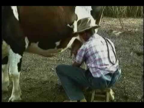 pillado follando vaca