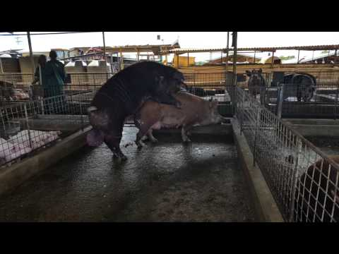 Pigs Mating (Large Sow and Large Boar)