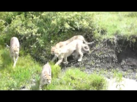 Cena rara de acasalamento de Cheetah na África.