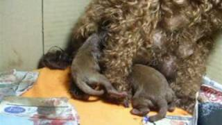 トイプードルの出産シーン1
