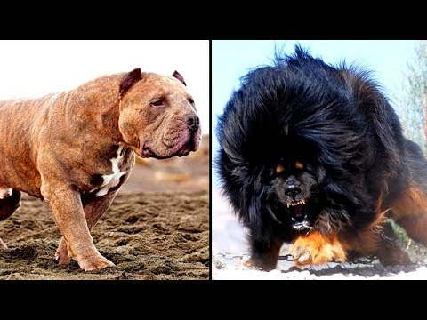 Xxx Mp4 14 MORE Of The Worlds Most Dangerous Dog Breeds 3gp Sex