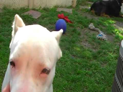 dogo argentino and rottweiler