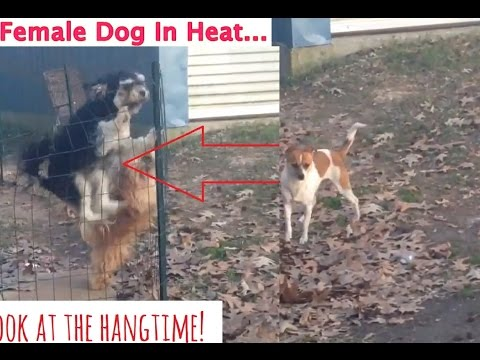 Dogs and Owner React to Female Dog in Heat!  Jumps With Boner (Reaction)