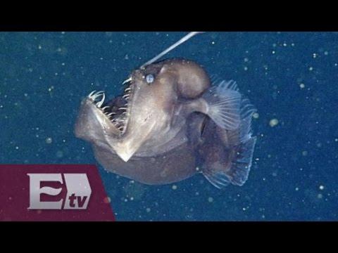 Científicos captan al temible pez diablo negro del mar Excélsior informa
