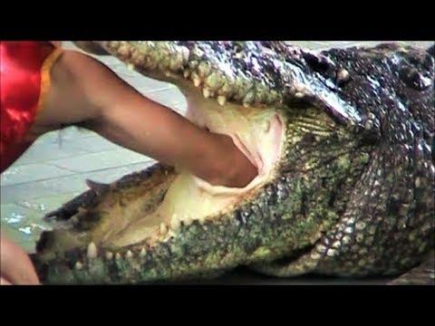 Pattaya Thailand Crocodile Farm 2011 .This man sticks his arm in a Crocodile stomach