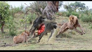 Most Amazing Lion vs Giraffe   Shocking Lion Kills Giraffe Bloody Fight