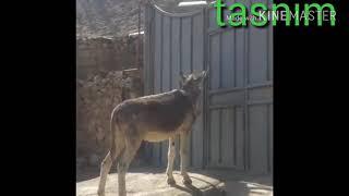 اذكى حمار في المغرب