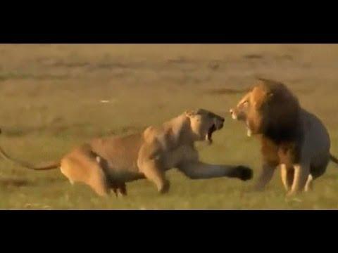 Dişi Aslan Yavrusu İçin Ölümüne Savaşıyor