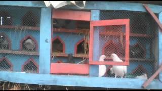 pegion farm in jhenidah