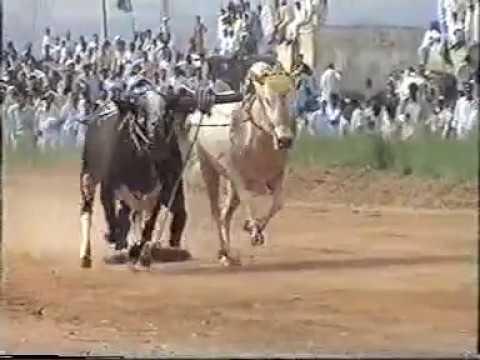 Ox Bull Race at Rawat Organized by Ch. Intikhab Pt 1 Uploaded by Ishtiaq Aziz