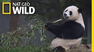 Giant Pandas 101   Nat Geo Wild