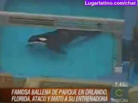 BALLENA ORCA MATA A SU ENTRENADORA