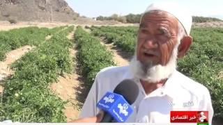 Iran Fanouj county, Harvesting Tomato برداشت گوجه فرنگي شهرستان فنوج ايران