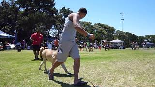 Western Cape Boerboel Club Show (02-NOV-2014) Junior Male Class - Video by
