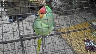 parrot talking in bengali - Part - II