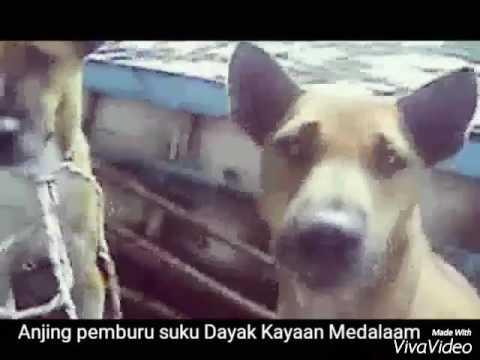 Xxx Mp4 Tradisi Berburu Ala Suku Dayak Kayaan Medalaam Kabupaten Kapuas Hulu 3gp Sex