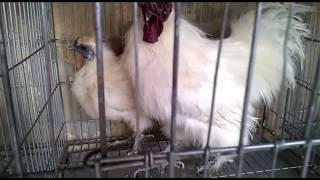The fancy hen of bd