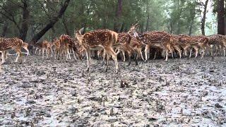 Sundarban Deer Hunting 2016, Mangrove forest Deer Hunting , Deer Hunter 2016 -Reporters Diary