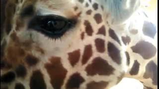 Giraffe dol op camera