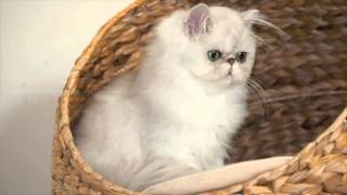 Video lucu kucing persia yang menggemaskan dan Imut