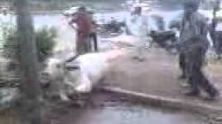 Video005.3gp bakra eid funny video