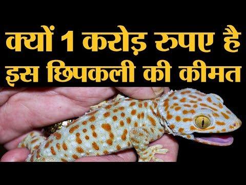 1 करोड़ रुपए में बिकती है ये छिपकली जानिए क्यों होता है इनका शिकार Tokay Gecko Lizard
