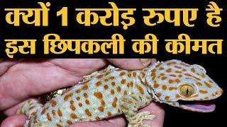 1 करोड़ रुपए में बिकती है ये छिपकली, जानिए क्यों होता है इनका शिकार | Tokay Gecko Lizard