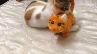 قطتي صغيرة واسمها نميرة