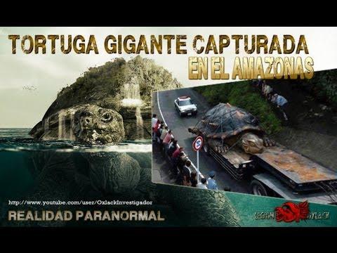 TORTUGA GIGANTE encontrada en el Rio Amazonas OxlackCastro RT
