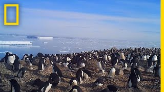 Explore a Hidden Colony of 1.5 Million Antarctic Penguins   National Geographic