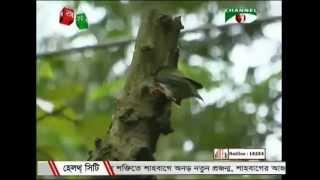 Birds of Bangladesh- Bosonto and nil kanto pakhi