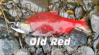 Catching Old Red - Sockeye Salmon