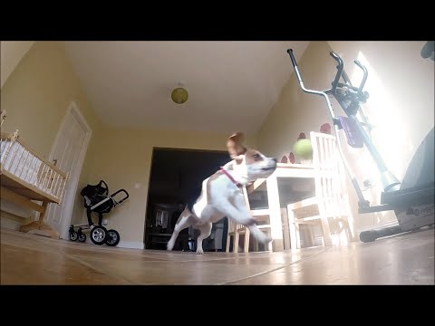 dog fetch fails in slow motion| Charlie The Beagle