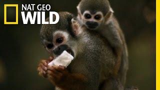 Squirrel Monkey Business | Amazon Underworld