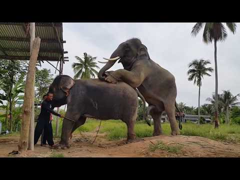Xxx Mp4 Elephant Mating And Sperm Collection MUST WATCH 2018 3gp Sex
