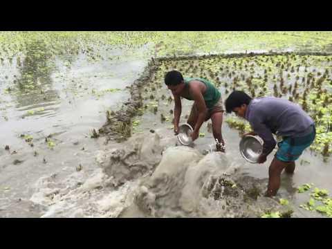 Village Fishing - Bangladesh- গ্রামে মাছ ধরা